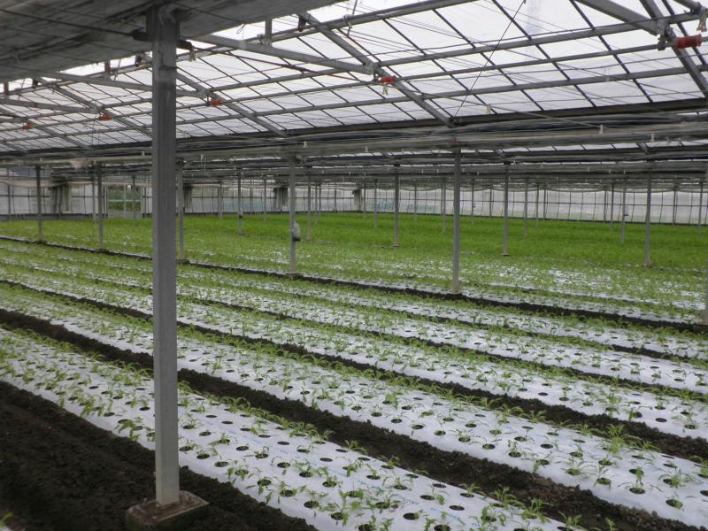 5畝単位で一日おきに播種しているほ場