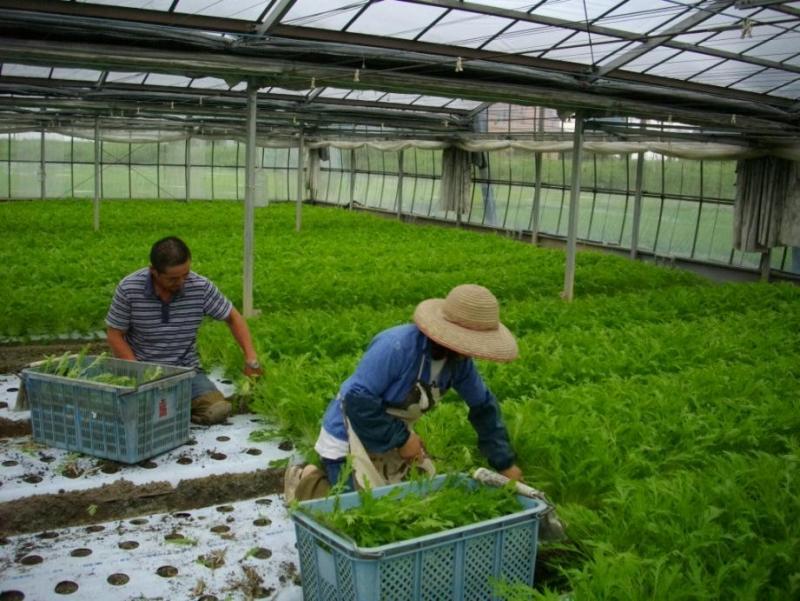 みず菜の収穫作業