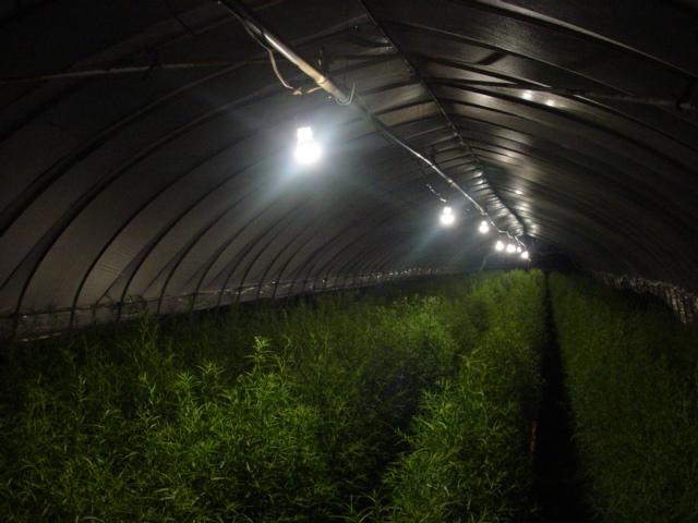 電照栽培による抑制栽培