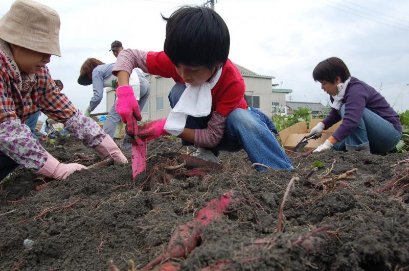 子供たちのサツマイモ堀りの様子