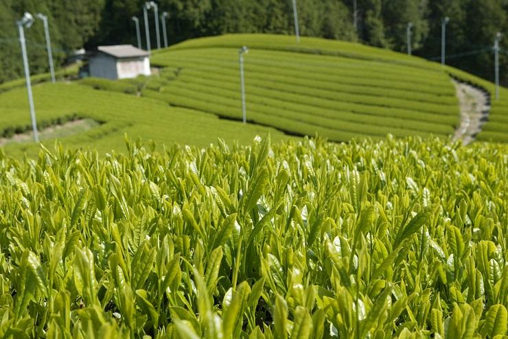 「増茶(ましちゃ)」を次世代に|奈良県大淀町
