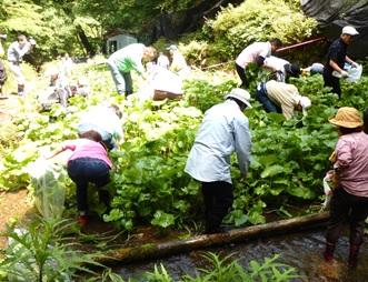 渓流で「沢ワサビ」生産|奈良県野迫川村