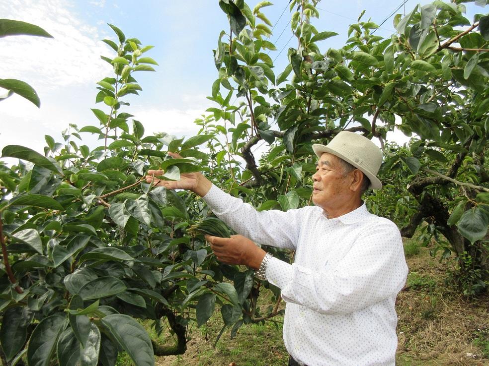 「らくらく農法」で柿の葉ビジネス