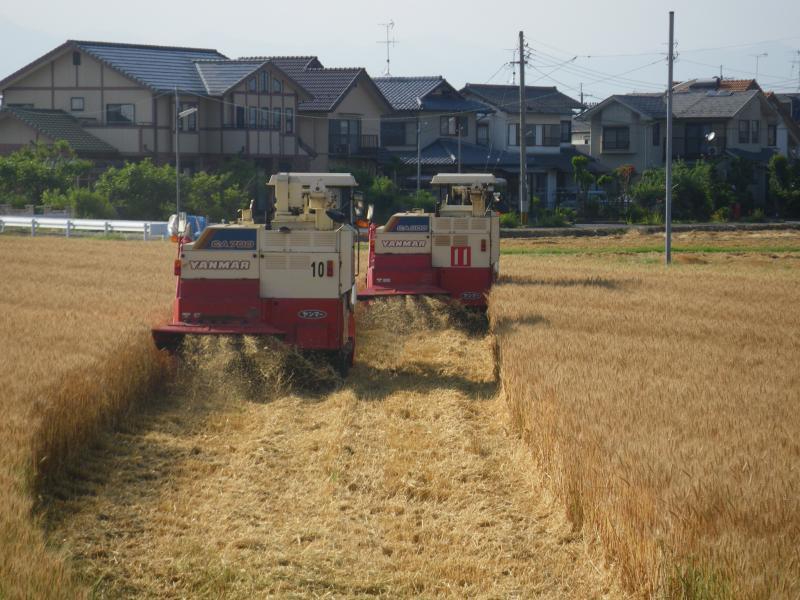 小麦の刈取りがはじまりました
