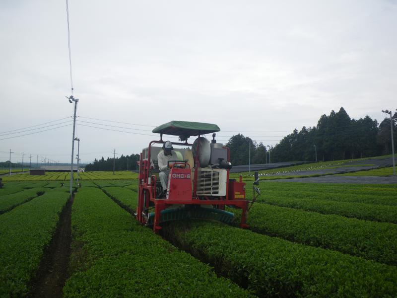 甲賀市土山町頓宮でのお茶の収穫作業の様子