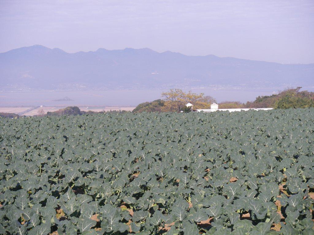 雲仙市のブロッコリーのある風景