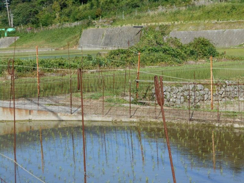 対馬島内では田植えが最盛期です。(厳原久根田舎地区)