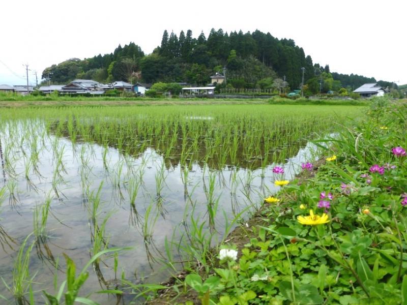 宮崎市の早期水稲の風景です。
