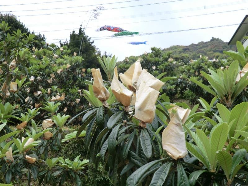 長崎市のびわの風景です。