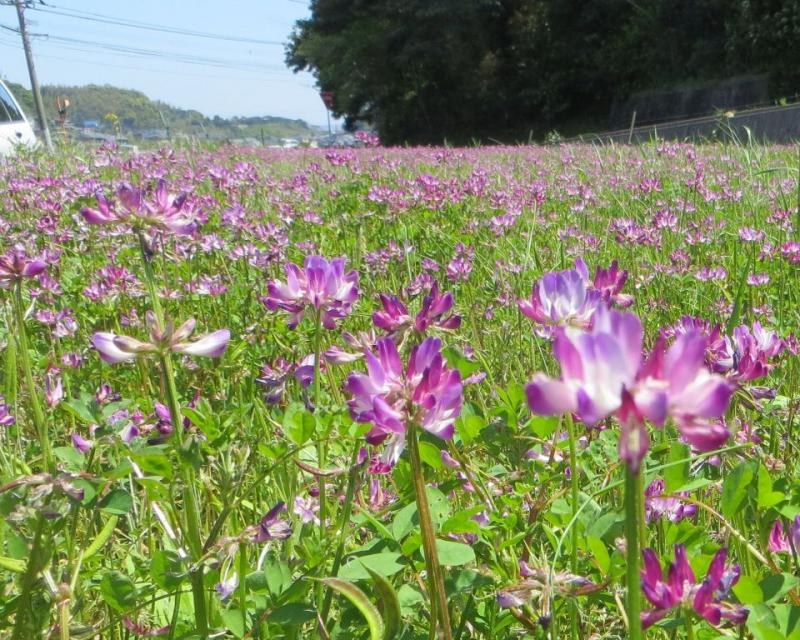 長崎県平戸市のレンゲです。