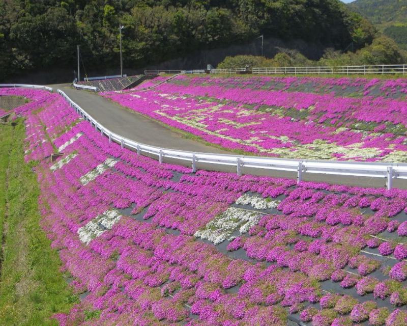 長崎県平戸市のシバザクラです。
