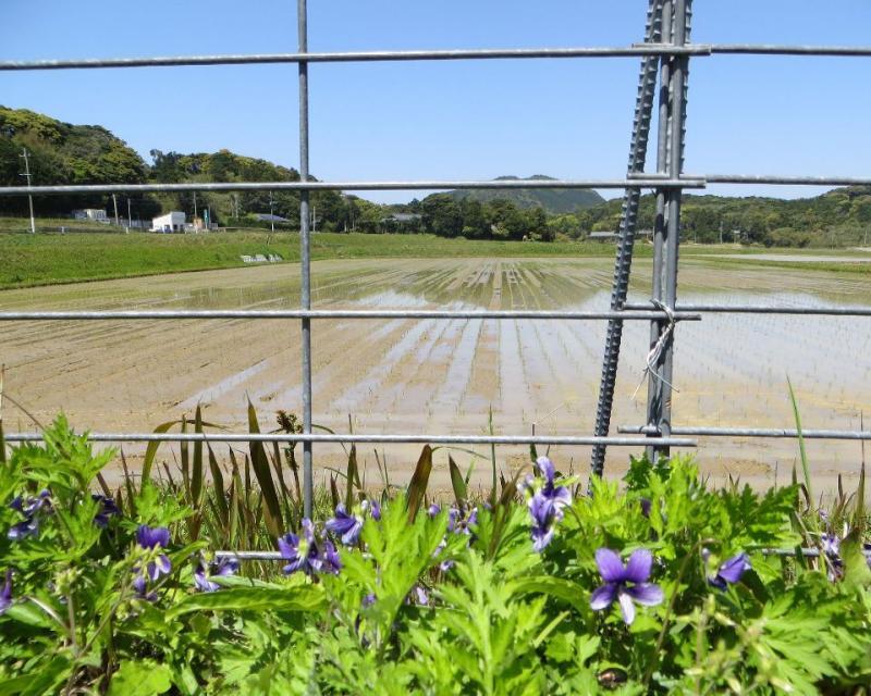 長崎県平戸市の水稲作付と鳥獣害予防の柵です。
