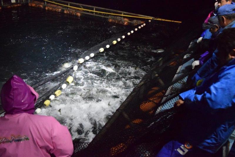鹿児島県垂水市でのぶり出荷風景です。