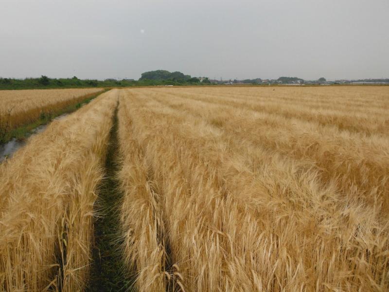 熊本県玉名市の二条大麦です。