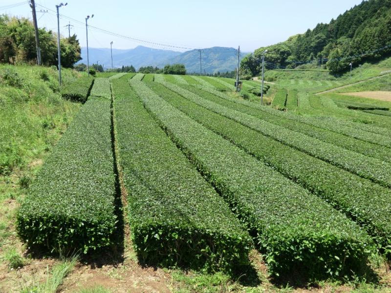 長崎県佐世保市世知原町のお茶が収穫前となっています。