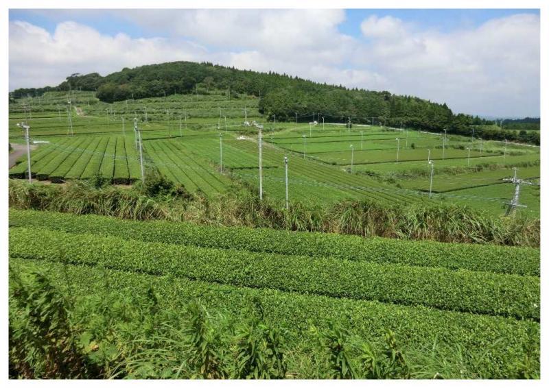 辺り一面が茶畑です。