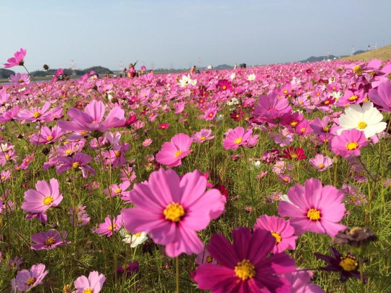 福岡県水巻町のコスモス