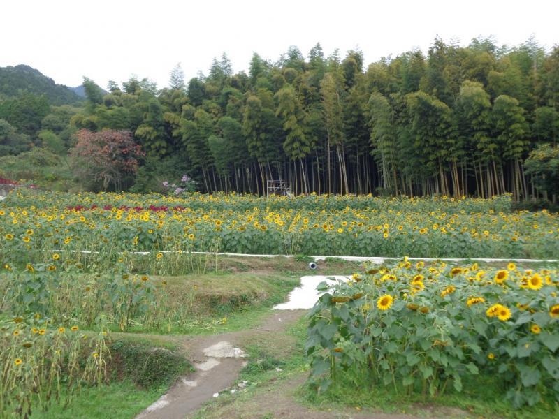 秋ひまわりのある棚田の風景です。