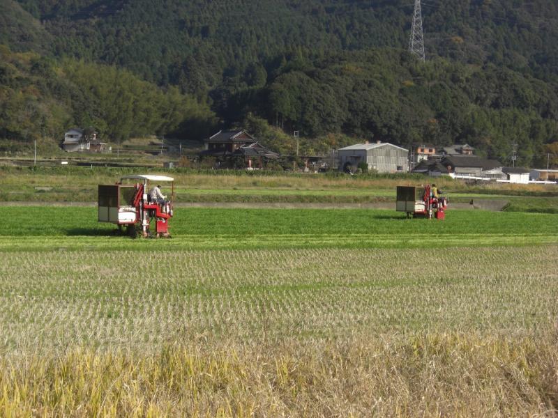 大麦若葉の収穫