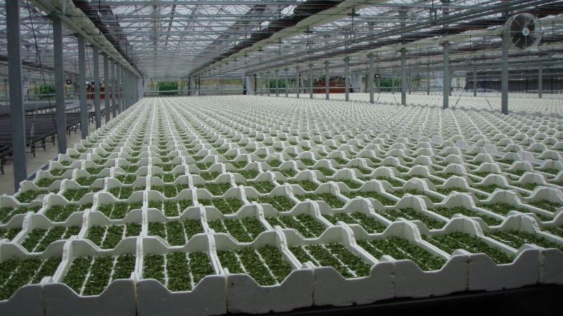 水耕栽培によるカイワレ栽培の様子