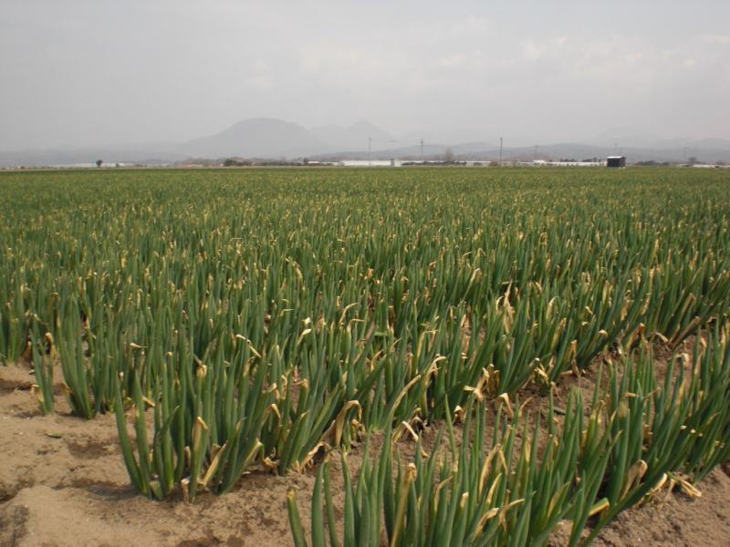干拓地での白ネギ畑が続く風景