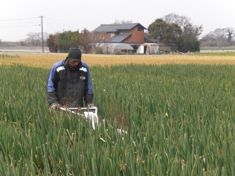 ネギの根本に土上げ作業を行っています。