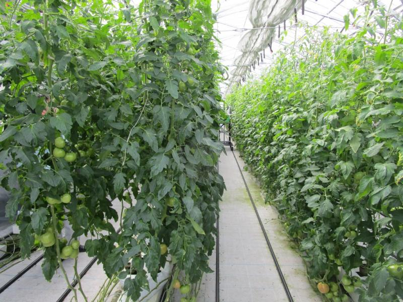 レインボーファームのとまと栽培