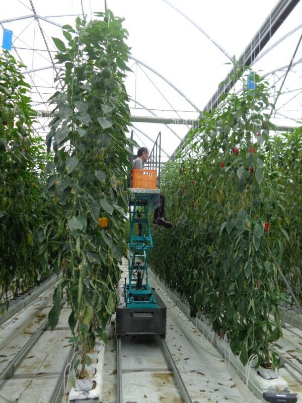 パプリカの収穫作業風景です。