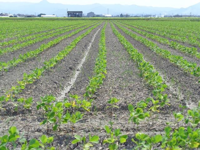 佐賀の大豆の状況