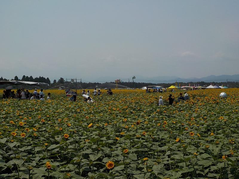 キャベツ畑のひまわり祭りの様子