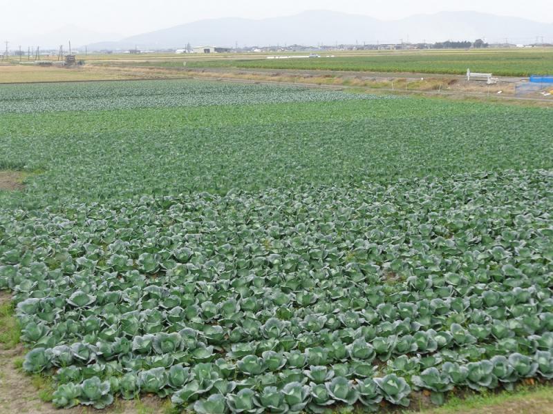 干拓地の広大な畑でのキャベツ栽培です。