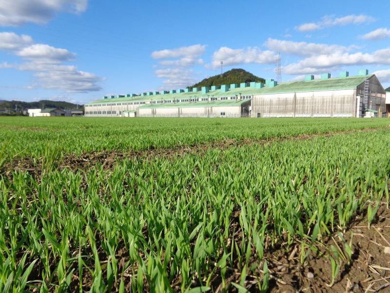 佐賀で茶の端境期に栽培されている大麦若葉
