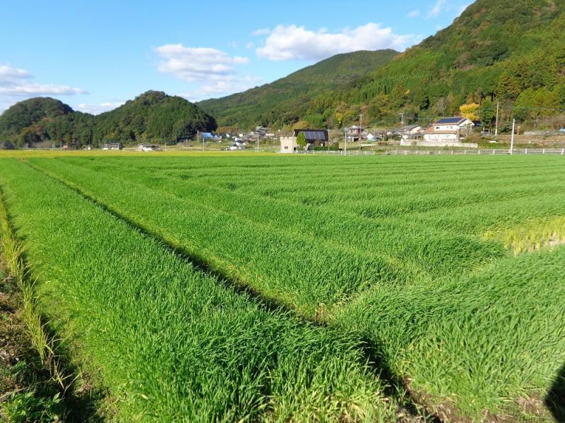 青々と生い茂る大麦若葉