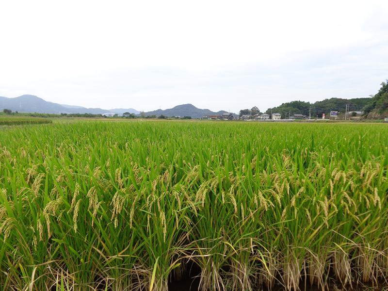 長粒米「ホシユタカ」です
