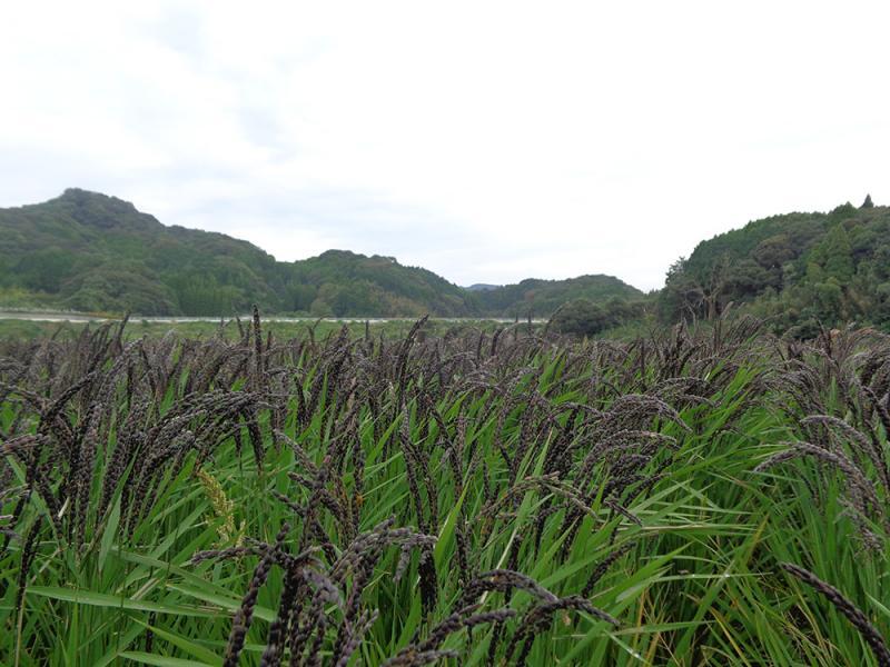 紫黒米です