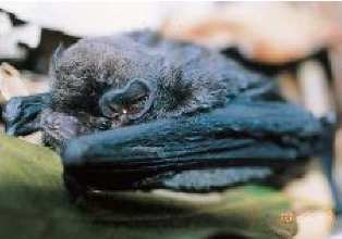 コユビナガコウモリ