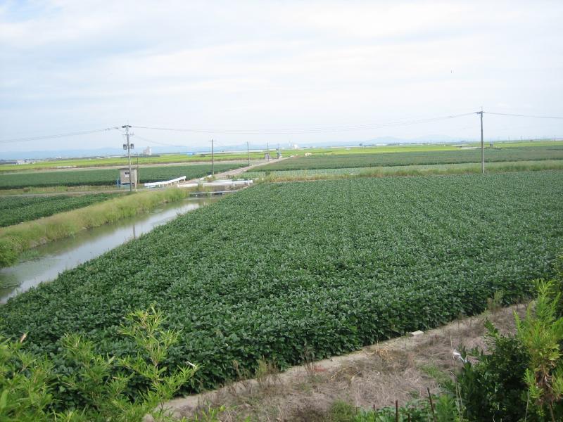 大豆の育成状況の写真