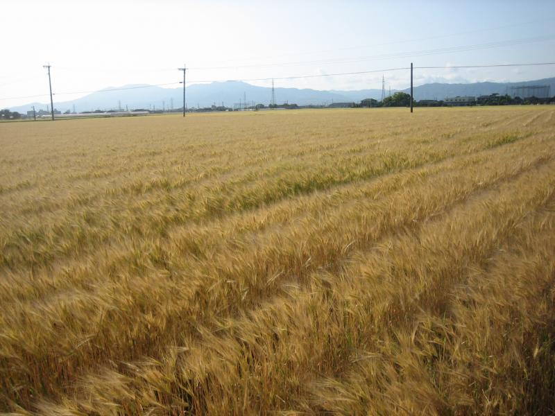 成熟期における麦の写真