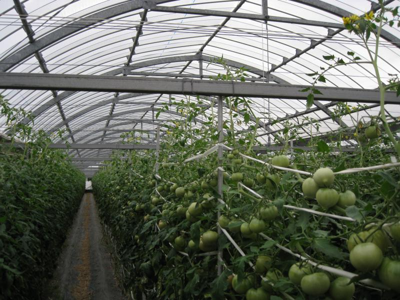 未成熟トマト