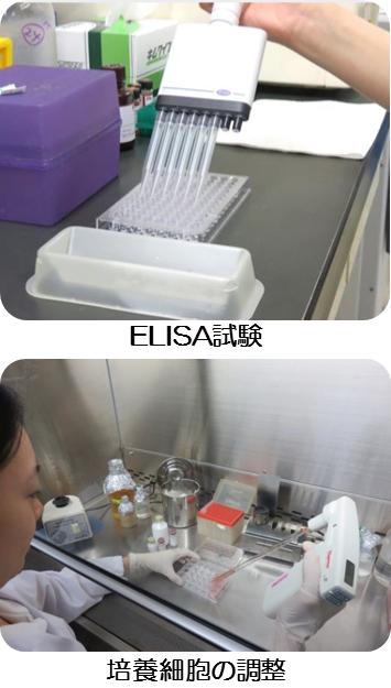 上:ELISA試験、下:培養細胞の調整