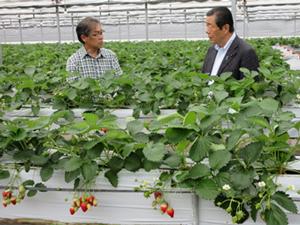 営農再開したいちご栽培農家(有限会社いいたていちごランド)を視察