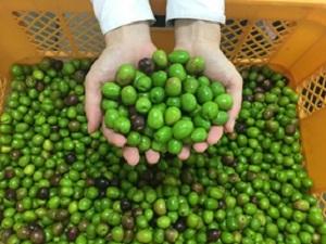 昨年秋に収穫されたオリーブの果実