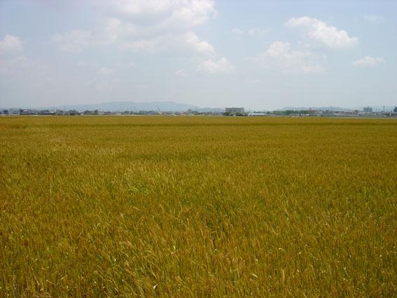 安城市の広大な農地