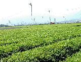 茶畑の写真