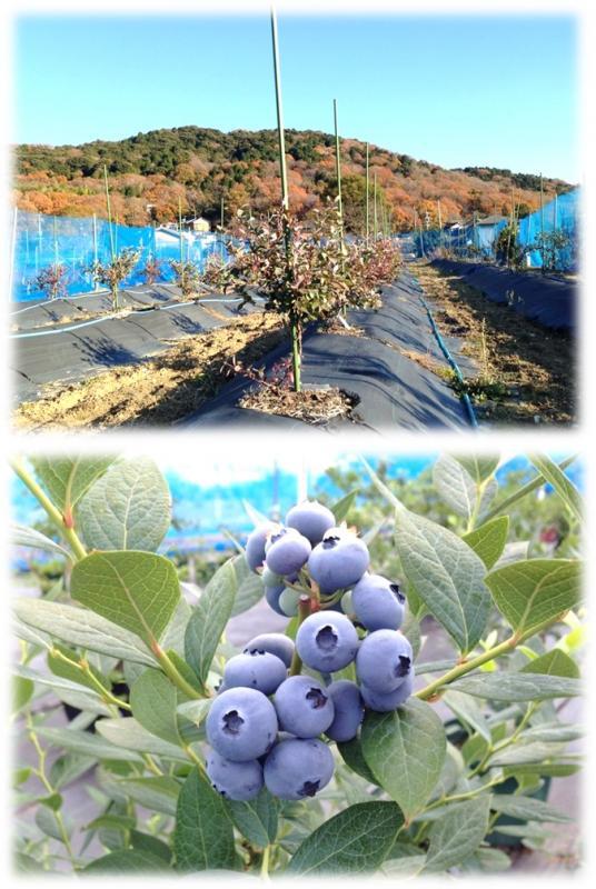 ブルーベリーや梅を中心の農園